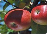 مهرجان التفاح بميدلت