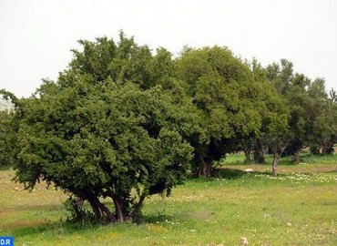 شجرة الأركان..المغرب يحتفي بشجرة عنوانها الصمود والخلود