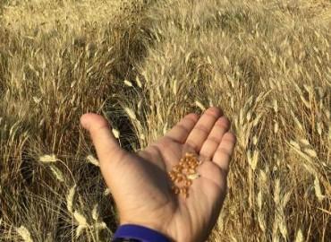 Découverte de variétés de blé dur tolérantes aux très fortes chaleurs